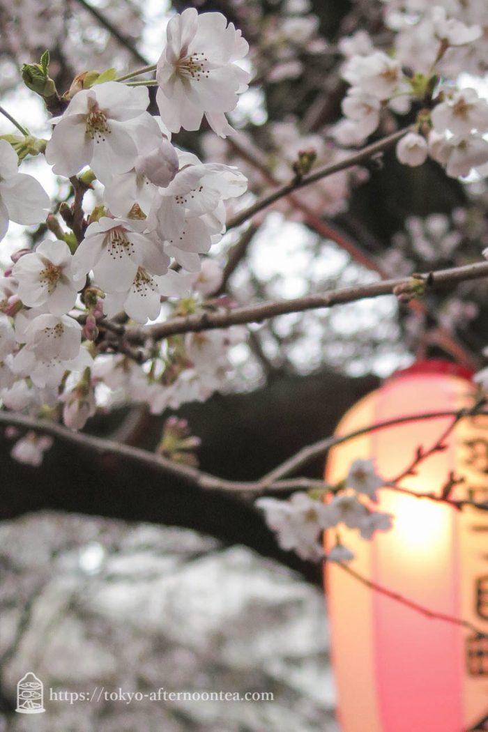 神田川の桜2017年4月