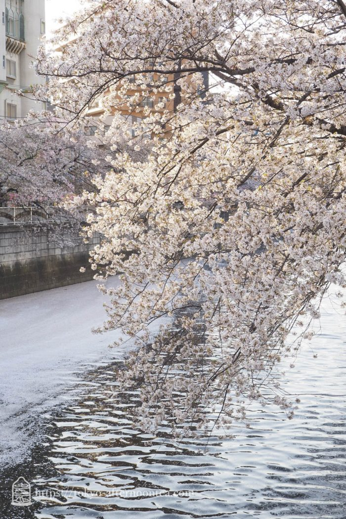 目黒川の桜 2018年